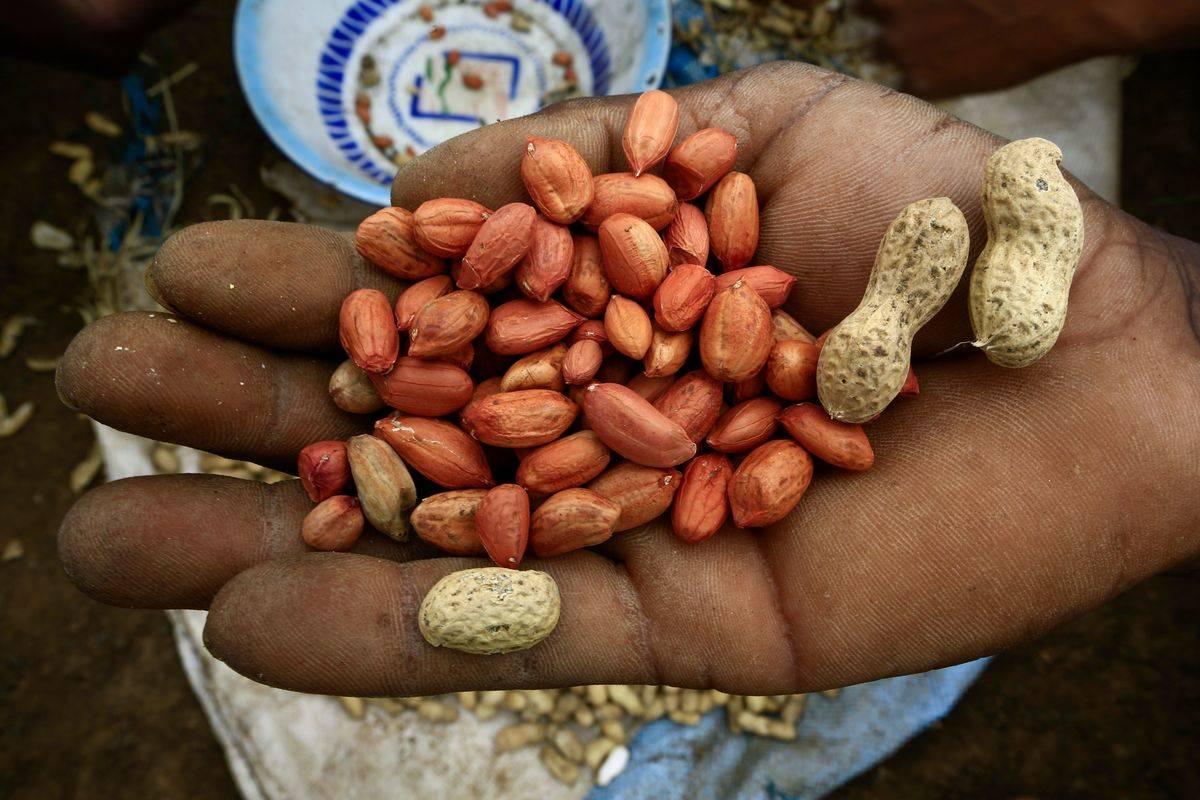 SUDAN-AGRICULTURE-PEANUTS-EXPORT