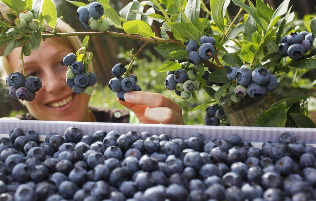 blueberries-hbp-42095-78315