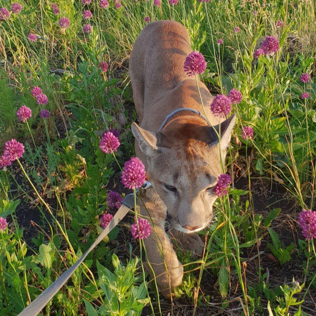 puma-housecat-walking-through-flower-field--87370