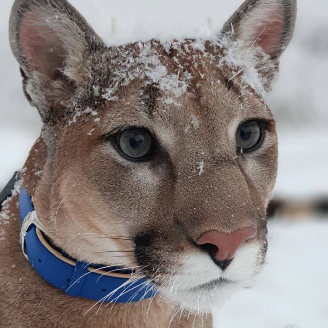 puma-housecat-with-snow-on-face-43039