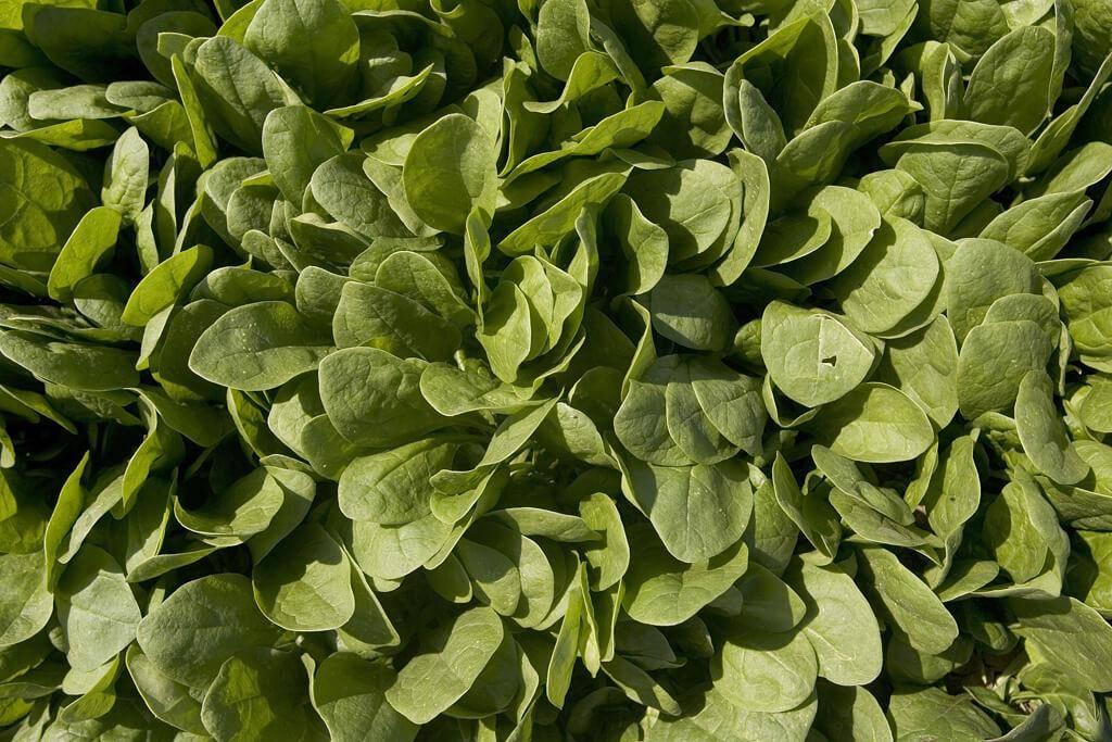 spinach-45155-52077