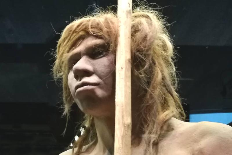 A model of a Neanderthal woman from the Sidron Cave is in a museum.